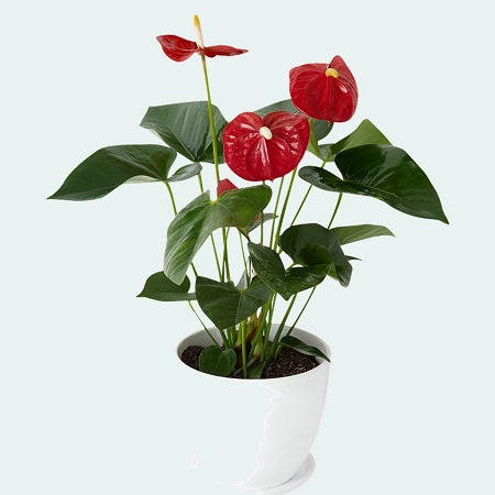 Tropical Anthurium Plant in Ceramic Pot