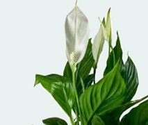 Peace Lily Plant in Ceramic Pot. Free Delivery North Shore Auckland Wide.