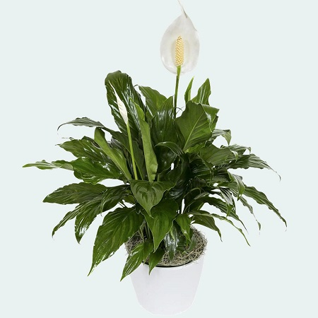 Peace Lily Plant in Ceramic Pot