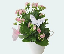 pink kalanchoe plant birthday gift