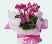 pretty pink cyclamen plant with keepsake butterfly delivered Auckland wide