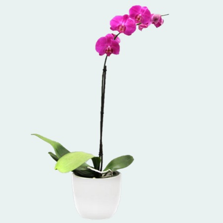 Pink Moth Orchid Plant in Ceramic Pot