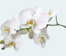 moth orchid plant mothers day
