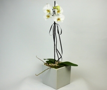 Phalaenopsis Orchid Plant in Ceramic Pot. Free Flower Delivery North Shore Auckland